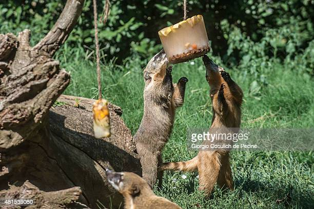 A couple of Ring Tailed Coati eat frozen fruit as they try to find refreshment at Rome Bioparco on July 22 2015 in Rome Italy Over the last few days...