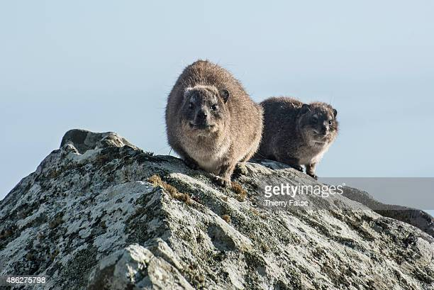 A couple of rock hyrax lies on a rock in the Table Mountain natural reserve