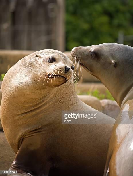 Couple of sea lions