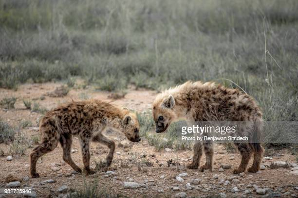 couple of spotted hyena on field in etosha national park, namibia - spotted hyena stock pictures, royalty-free photos & images