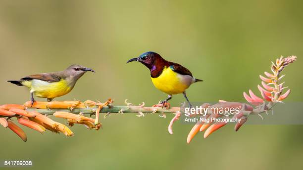 a couple of sunbirds - beak stock pictures, royalty-free photos & images