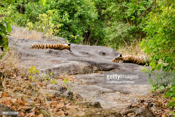 a couple of tiger cubs sleeping on rock inside the forest - bandhavgarh national park stock pictures, royalty-free photos & images