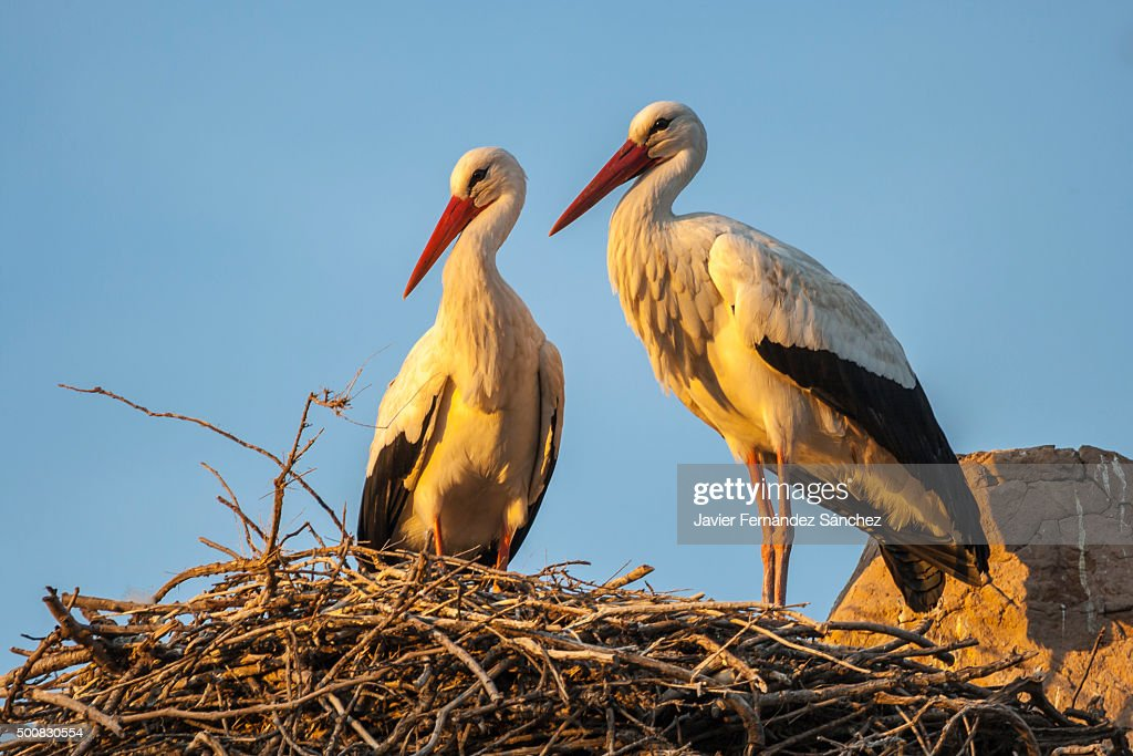 A couple of white storks in the nest. Ciconia ciconia. : Stock Photo