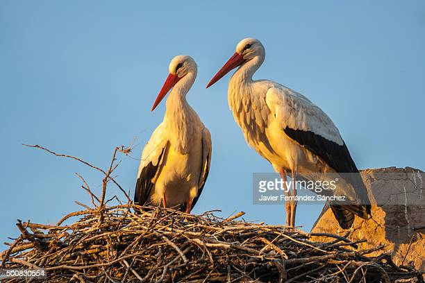 A couple of white storks in the nest. Ciconia ciconia.