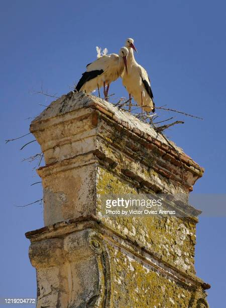 couple of white storks (ciconia ciconia) nesting on the top of a tower in trujillo - victor ovies fotografías e imágenes de stock
