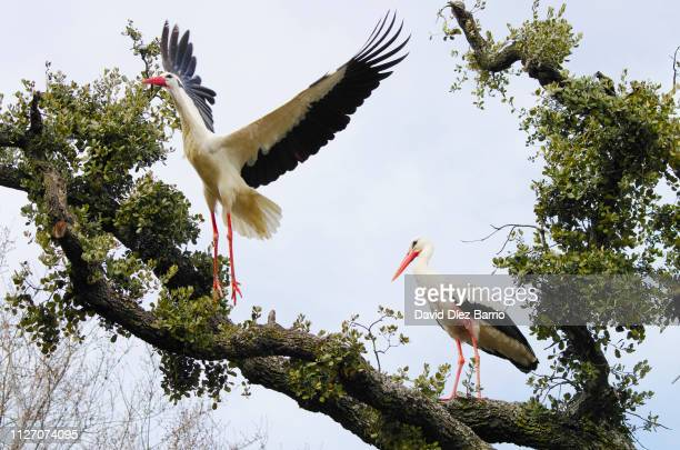 Couple of white storks on tree