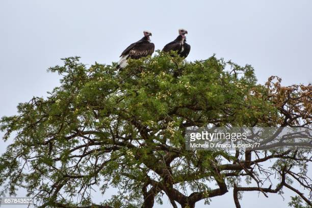 Couple of white-faced vultures (Torgos tracheliotos) nesting on a sasuage tree.