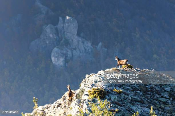 couple of wild goats - escarpment stock pictures, royalty-free photos & images