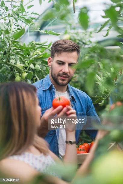 Couple of young farmers picking tomatoes