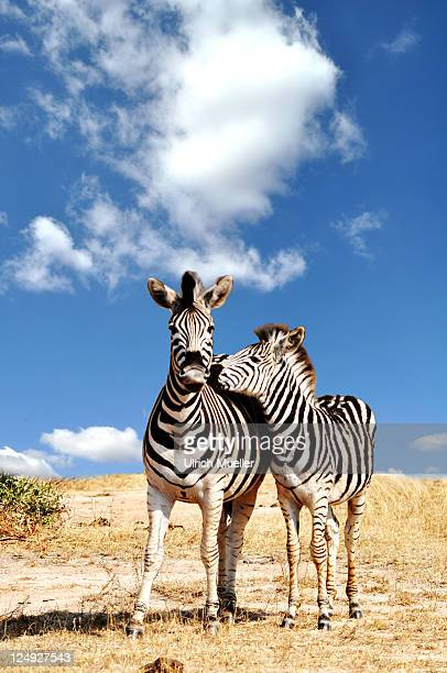 Couple of zebra