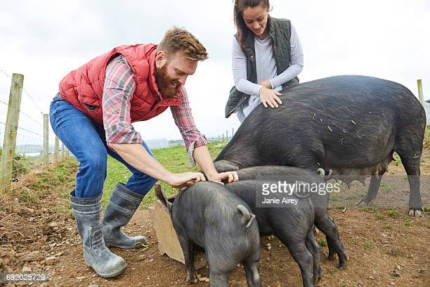 couple on farm feeding pig and piglets - pigs trough stock pictures, royalty-free photos & images