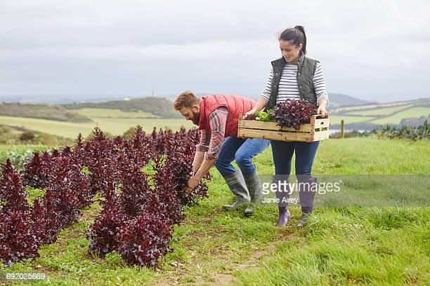 Couple on farm harvesting lettuce