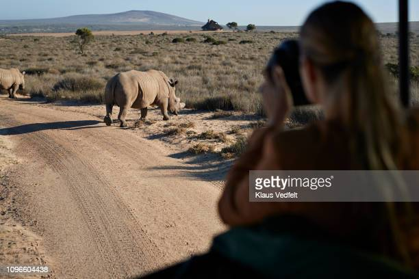 couple on safari trip with tour guide, taking pictures of rhinos out of 4x4 vehicle - animal behavior stock pictures, royalty-free photos & images