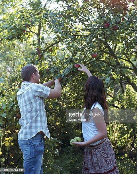 Couple picking apples from tree, side view