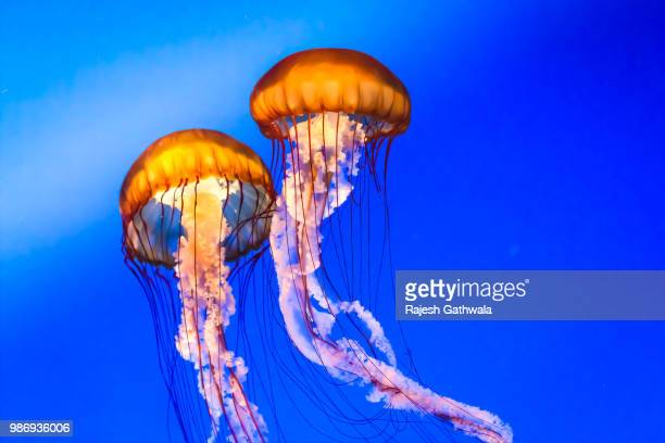 couple - sea nettle jellyfish stock pictures, royalty-free photos & images