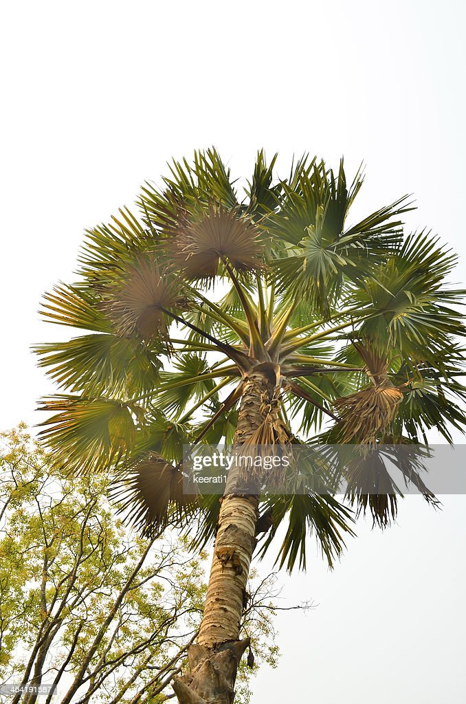couple Plam tree in early morning sky background at sunrise : Stock Photo