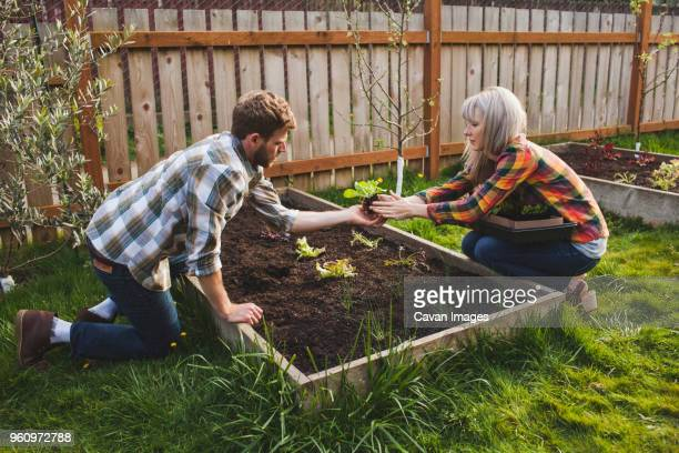 Couple planting in raised bed while gardening at backyard
