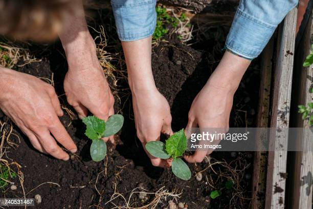 couple planting seedlings in soil - urban garden stock photos and pictures