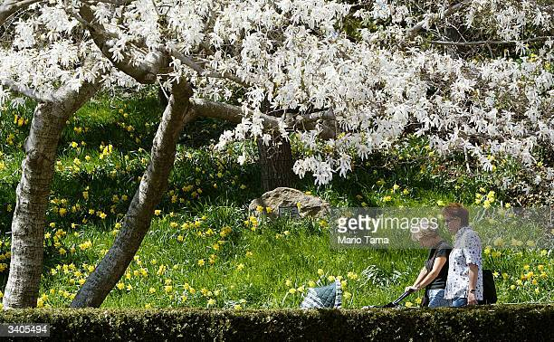 A couple pushes a baby stroller beneath cherry blossoms blooming in the Brooklyn Botanic Gardens April 16 2004 in New York City Springlike weather...