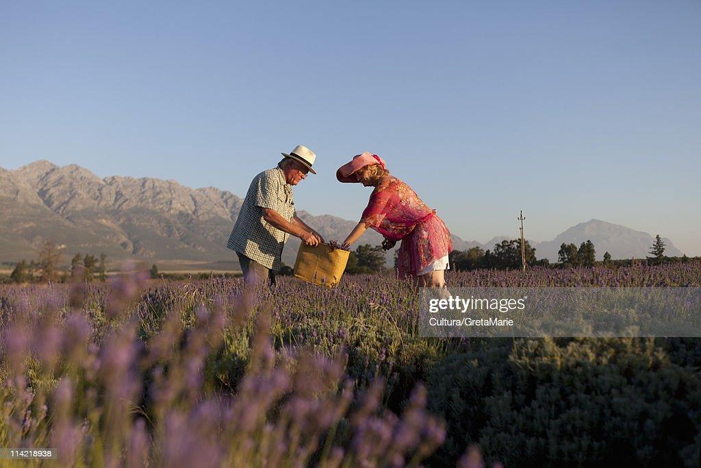 Couple reaping lavender : Foto de stock