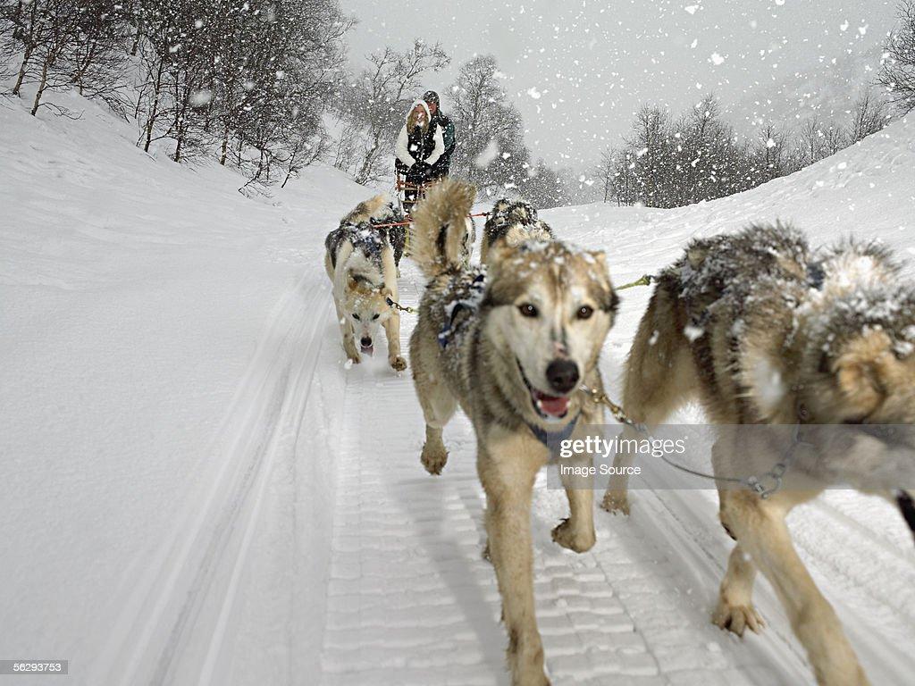 Couple riding a dog sled : Stock Photo