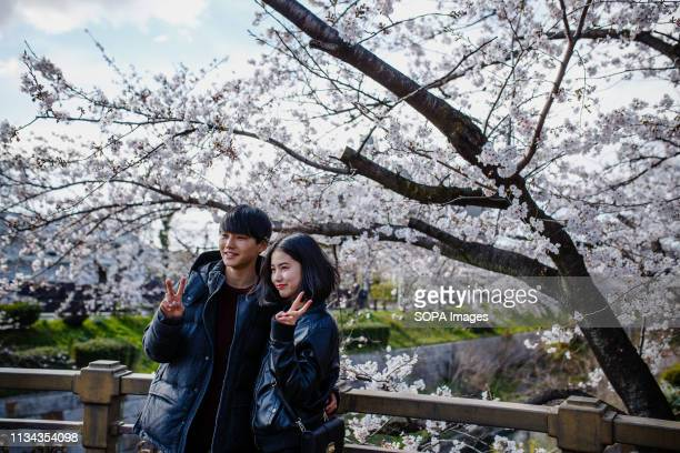 A couple seen enjoying cherry blossom views at yamazaki river nagoya Aichi prefecture Japan The Cherry blossom also known as Sakura in Japan normally...