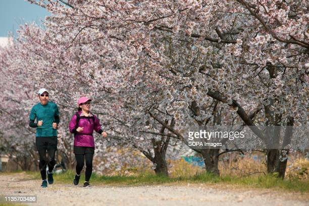 A couple seen running past cherry blossoms at the Nisshin park in Japan The Cherry blossom also known as Sakura in Japan normally peaks in March or...