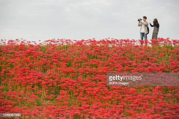 A couple seen taking pictures of a wedding as they stand in a field filled with Lycoris Radiatas in full bloom near the Yakachi River in Handa city...
