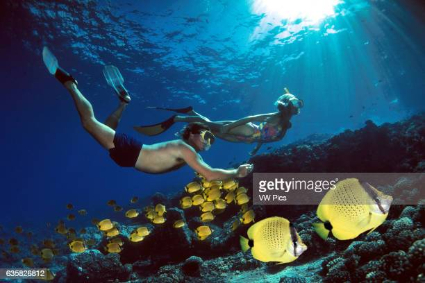 A couple snorkeling is shadowed by a school of milletseed butterflyfish Chaetodon miliaris The two butterflyfish in the bottom right corner were...