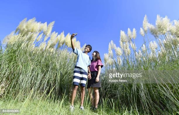 A couple take a selfie at a field of pampas grass in Hitachi Seaside Park in Ibaraki Prefecture on Sept 8 2017 The plant standing around 3 to 4...