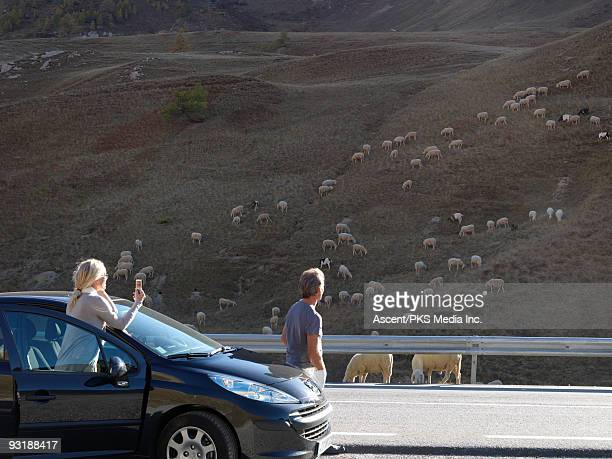Couple take picture from car, of sheep grazing