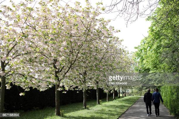 A couple walk past a row of blossoming trees in Regent's Park on April 11 2017 in London England Much of the UK is currently enjoying Spring sunshine...