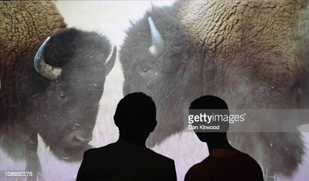 A couple watch a video installation at the Natural History Museum's new 'Sexual Nature' exhibition on February 9 2011 in London England The exhibit...