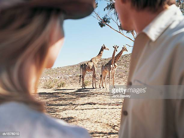 Couple Watching a Pair of Giraffes in the Grassland, Cape Town, South Africa