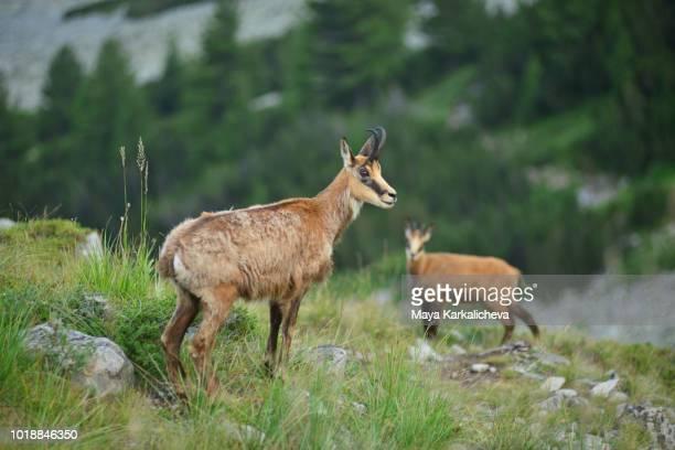 Couple wild goats in Pirin mountain national park, Bulgaria