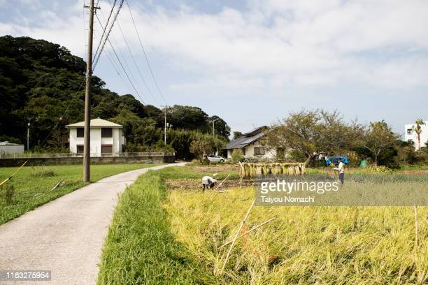 a couple working hard at harvesting rice fields - satoyama scenery stock pictures, royalty-free photos & images