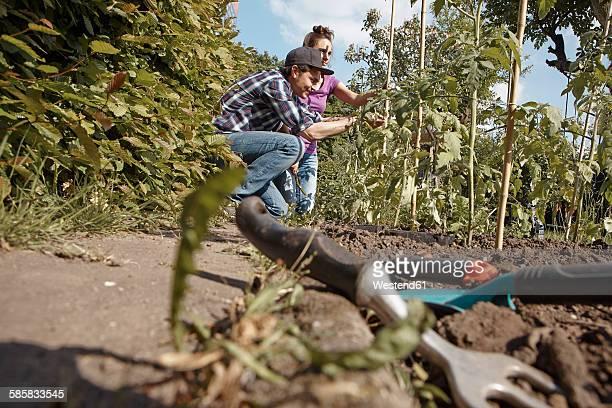 couple working in garden at tomato plant - nur erwachsene stock-fotos und bilder