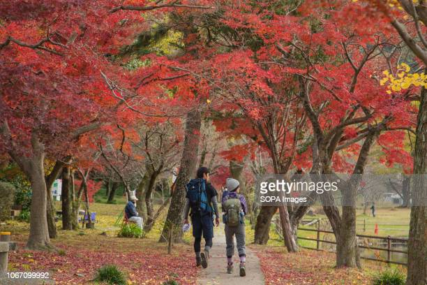 A couples seen walking on a walk way with autumn leaves during fall season in inuyama Aich