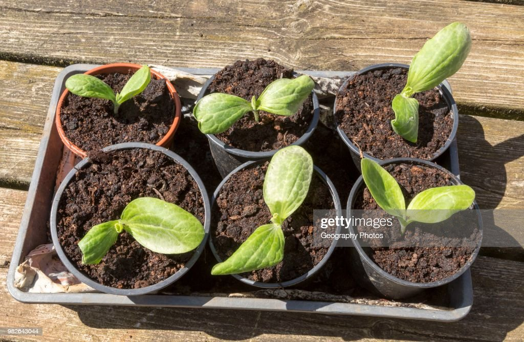 courgette zucchini seedlings growing in pots pictures getty images