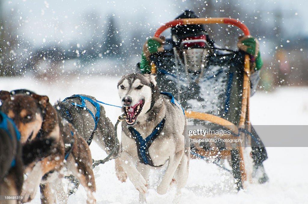 Course traineaux à chiens - sledge dogs : Stock-Foto