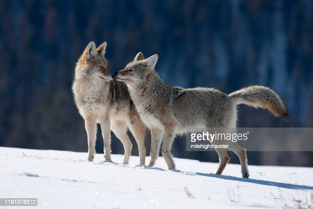 courting coyote pair snowy yellowstone national park wyoming - milehightraveler stock pictures, royalty-free photos & images