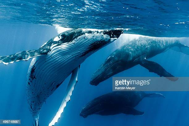 courting humpback whales