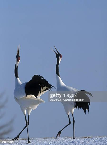 Courting Japanese Cranes, Tsurui, Hokkaido, Japan
