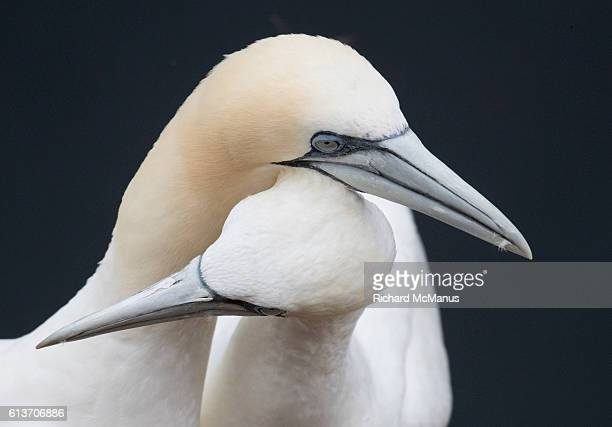 courting northern gannets at troup head. - gannet stock photos and pictures