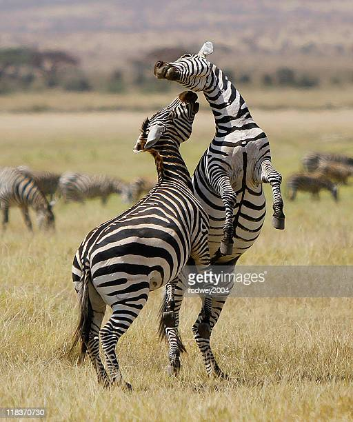 Courting Zebras