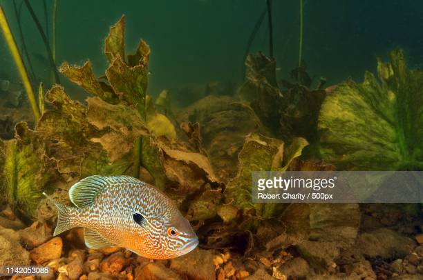 courtois creek - sunfish stock photos and pictures