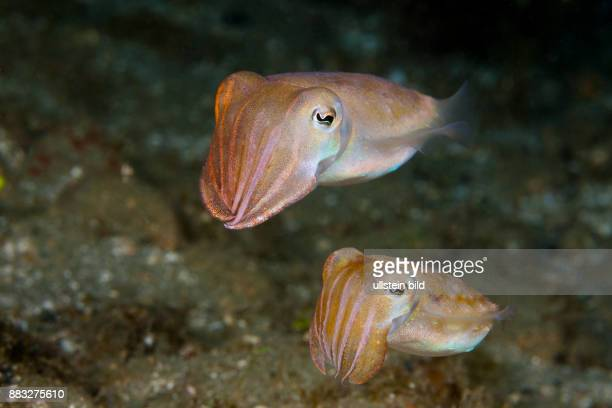 Courtship Display of Cuttlefish Sepia sp Ambon Moluccas Indonesia
