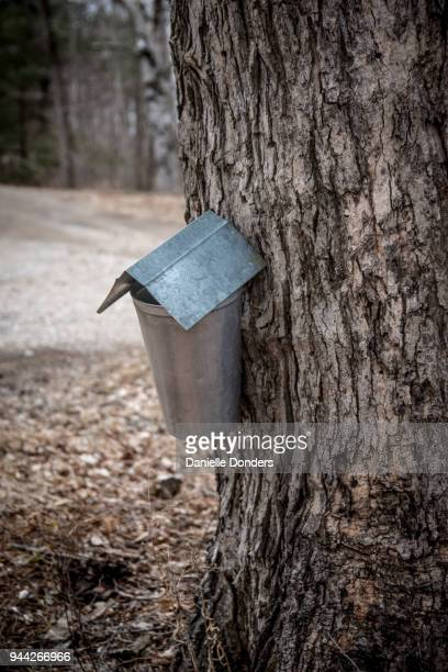Covered aluminum bucket collecting sap from a maple tree