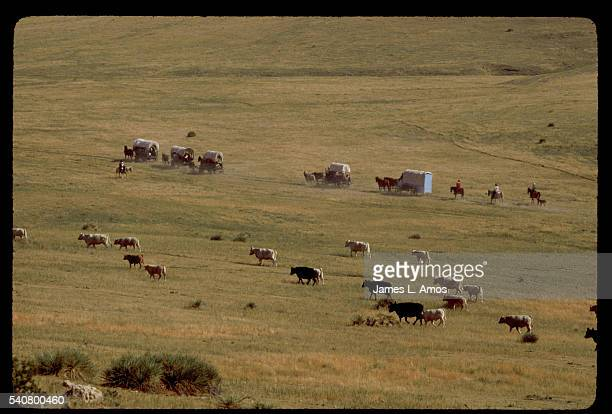 Covered wagons driven by vacationers reenacting the experience of pioneers on the Oregon Trail pass a herd of cattle grazing on a prairie near Bayard...
