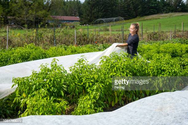 covering pepper plants with frost cover cloth on an organic farm - covering stock pictures, royalty-free photos & images